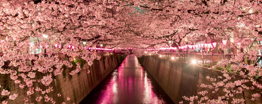 Tokyo-Cherry-Blossom-Header